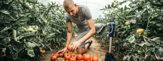 a man with a prosthetic leg picks tomatoes in a large greenhouse